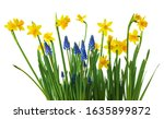 daffodil and muscari flowers on ...   Shutterstock . vector #1635899872