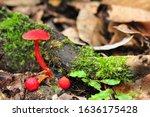 Red Mushroom Nearby The Tree