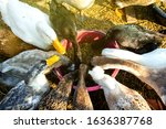 Many Duck That Are Eating Food. ...