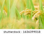 A Good Harvest Of Rice