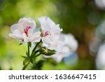 Zonal Geranium  Pelargonium...