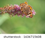 Junonia Coenia  Known As The...