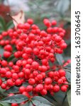 red berry bush on a rainy... | Shutterstock . vector #163706645