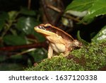 The bronzed frog (Hylarana temporalis) is a species of true frog found in the riparian evergreen forests of the Western Ghats, India