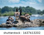Canada Goose In Its Natural...
