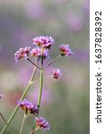 Purple Tall Verbena Background...