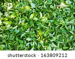 Group Of Green Tea Leaves...
