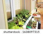 A Lot Of Green Seedlings Of...