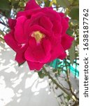 Small photo of A Fresh Rose Flower Between Viable Seeds
