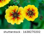 Small photo of Potentilla 'Esta Ann' a yellow red flowered plant commonly known as cinquefoil