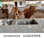 Cows Calf In Gau Shala Cowshed...