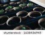 Seedlings In Peat Pots. Baby...