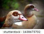 Two Egyptian Geese In Kelsey...