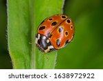 Eyed Ladybird  Anatis Ocellata ....