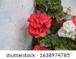 Beautiful Red Geranium Or Crane ...