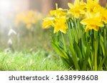 Spring Daffodils In A Flower...