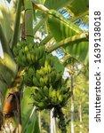 Banana Trees And Bananas Ready...