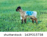 Lambing Time In Winter.  An...