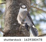 Perisoreus canadensis or Canada Jay  or Gray Jay found year round in Algonquin Provincial Park.