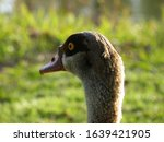 Egyptian Goose. Close Up Of The ...