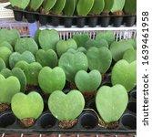 Small photo of green hart little hart in garden