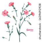 Set Of Carnation Schabaud. Pin...