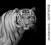stare of a severe siberian... | Shutterstock . vector #163976918