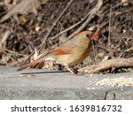 Female Cardinal Bird Eating...