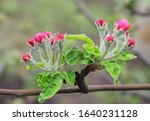 Flowering Apple Tree. A Mature...