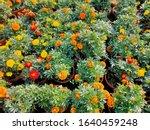 Many Colours Of Marigolds Amon...