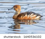 Fulvous Whistling Duck Or...