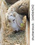 Closeup Of A Sweet Lamb Feedin...