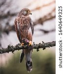 Common kestrel (Falco tinnunculus) sitting on tree and holding hunted mouse. Common kestrel in the forest. Common kestrel portrait. Bird of prey with mouse.