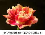 red tulip unfolds on a black... | Shutterstock . vector #1640768635