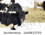 Black and White Dutch Belted Lakenvelder cattle stood on a ranch with other cattle out in the cold Winter Season outside Merrill, Wisconsin