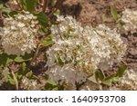 Blooming Hydrangea Paniculata ...