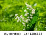 Spring Flower Lily Of The...