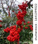 Cluster Of Cotoneaster Berries...