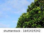 Dense Corona Of A Ficus Lyrata...