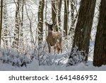 Deer. White Tailed Deer On Snow ...