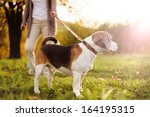 Stock photo senior woman walking her beagle dog in countryside 164195315