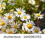 Oxeye Daisies  Leucanthemum...