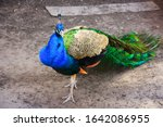 Beautiful Colorful Peacock With ...
