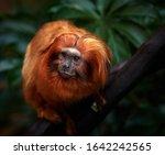 Portrait Of A Golden Tamarin...