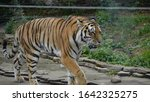 the amur tiger is the graceful... | Shutterstock . vector #1642325275
