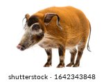 Side View Of A Bush Pig...