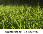 backlit grass background | Shutterstock . vector #16423495