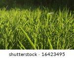 backlit grass background   Shutterstock . vector #16423495