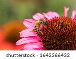 Bumblebee On Flower Echinacea...