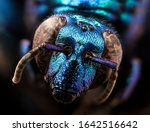 A Large  Parasitic Orchid Bee ...